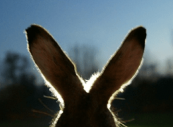 Crazy as a March Hare